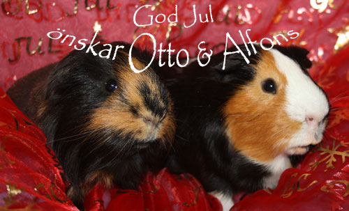 Otto f.110616 och Alfons f.110113 är ett trevligt pojkpar som trivs jättebra med varann.