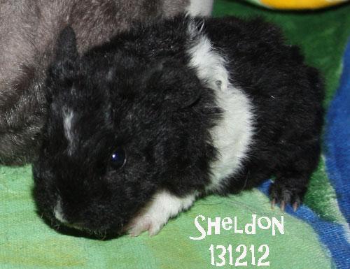 Sheldon, lillkillen. Han väger bara lite drygt 100 gram, borde väg mer. Nu ökar han snabbt men eftersom både mamma Amy och syskonen ligger lite efter så kanske det tar lite extra tid.